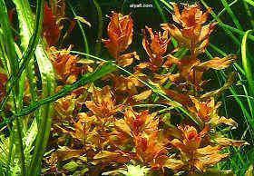 水草红蝴蝶
