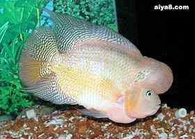 罗汉鱼常见的几种病