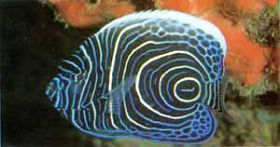 海水鱼金圈神仙