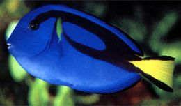 海水鱼-蓝倒吊