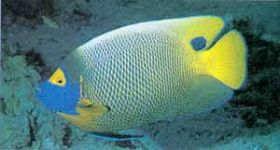 海水鱼-蓝面神仙