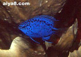 海水鱼-蓝魔鬼