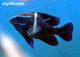 海水鱼-蓝线雀