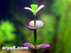 水草紫红圆叶