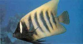 海水鱼-六间神仙
