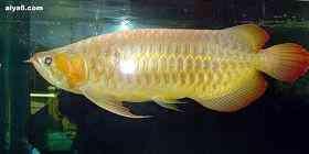 红龙鱼图片