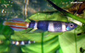 小型鱼斑节�鱼