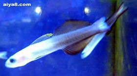 海水鱼-喷射机