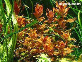 水草品种红蝴蝶