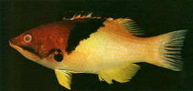 海水鱼-三色龙