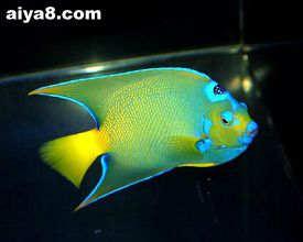 海水鱼-女王神仙