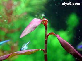 水草紫柳(紫蓼)