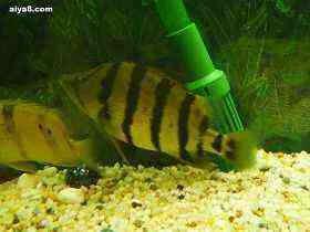 泰国虎鱼45厘米