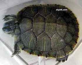 龟类选购讲解