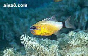 海水鱼-条纹鲷