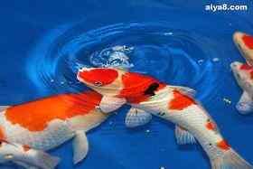 锦鲤鱼几尾