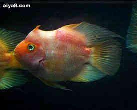 独角兽鹦鹉鱼图片