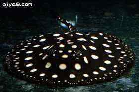 皇冠黑白�鱼图片