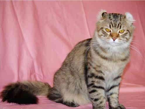 美国卷耳猫(美国反耳猫)