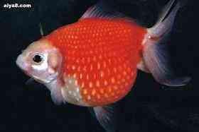金鱼患病怎样施药