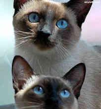 暹罗猫(泰国猫)