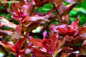 日本红蝴蝶水草