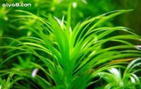新太阳水草