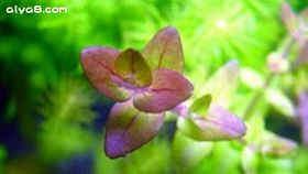 紫虎耳水草