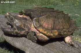 鳄龟卵的人工收集和孵化