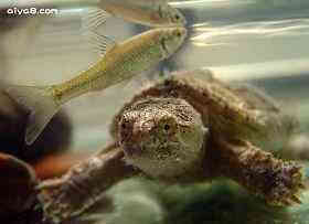 小鳄龟图片