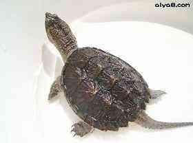 鳄龟常见的疾病防治和办法