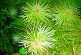 绿红太阳水草