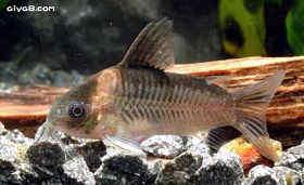 宽带公主鼠鱼