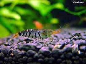 如何控制虾蟹池中的水草