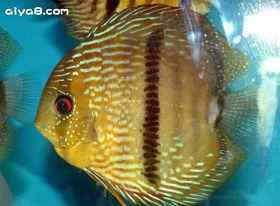 常见的七彩神仙病鱼的可能出现的异常的行为
