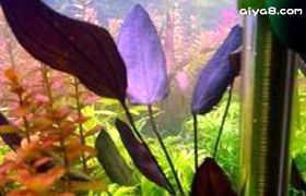 紫爵皇冠水草