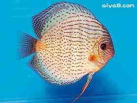如何鉴别七彩神仙鱼的雌雄