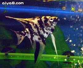 大理石神仙鱼