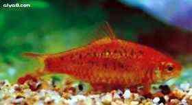 金条小型鱼图片