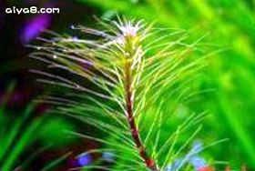 越南百叶水草