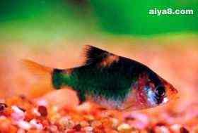 绿四间小型鱼