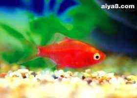 红四间小型鱼