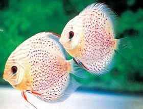 造成七彩神仙鱼病的因素和预防措施