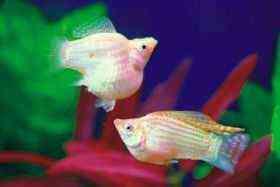 银球小型鱼