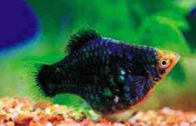 绿球小型鱼