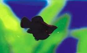 黑皮球小型鱼