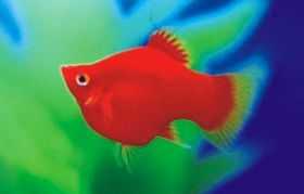 红皮球小型鱼