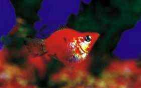 花球小型鱼