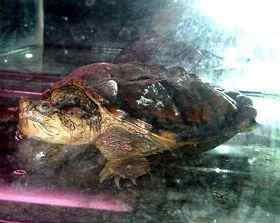 市场上的鳄龟