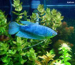蓝曼龙鱼的繁殖